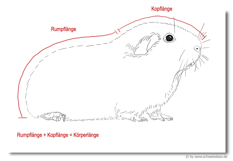 Körperbau Kopf/Rumpf-Verhältnis
